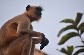 Foto gratuita di scimmia, scimmia indiana, scimmia urlatrice